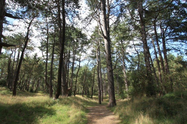 A sandy path in the pinewoods at Wells beach surrounded by majestic pines and grassland, glimpses of sky through the canopy.
