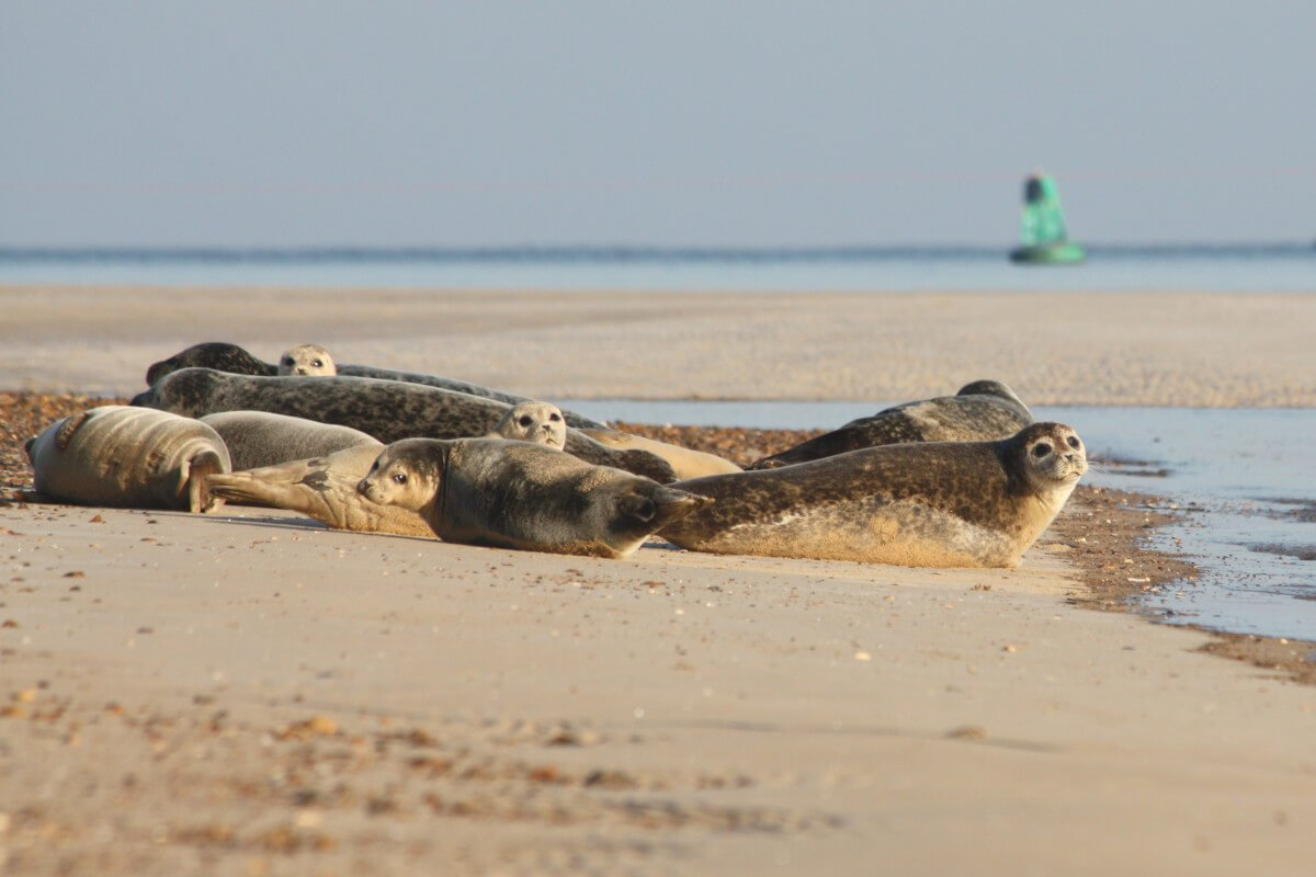A group of common and grey seals basking on the beach at Wells-next-the-Sea.