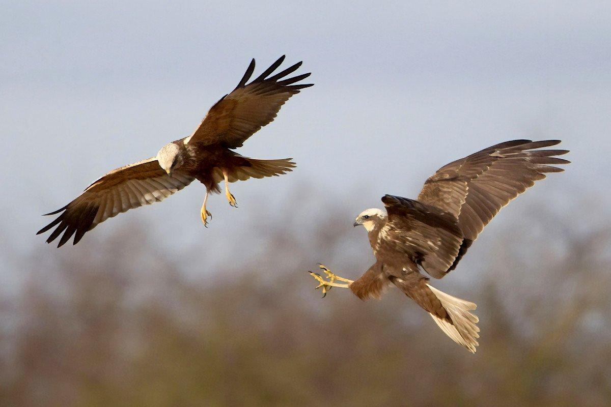 A pair of marsh harrier birds having a mid-air fight over RSPB Titchwell Marsh.
