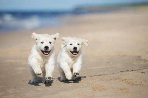 Two cute puppies running together on the beach at Wells-next-the-Sea.