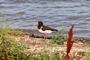 An oystercatcher on the shore at Snettisham Nature Reserve.