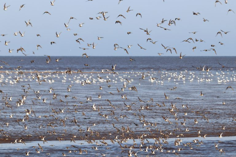 Birds taking flight over the water at Snettisham in Norfolk.