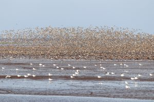 Hundreds of birds flying over water at RSPB Snettisham.