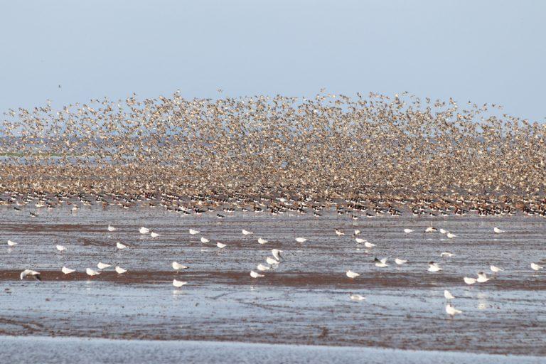 Hundreds of birds flying over water at RSPB Snettisham.