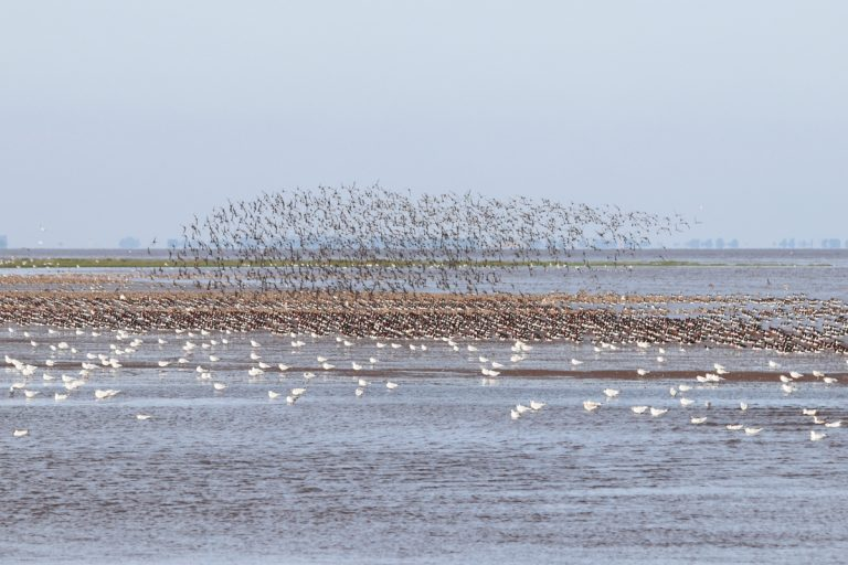 Hundreds of birds including oystercatchers at Snettisham Nature Reserve.