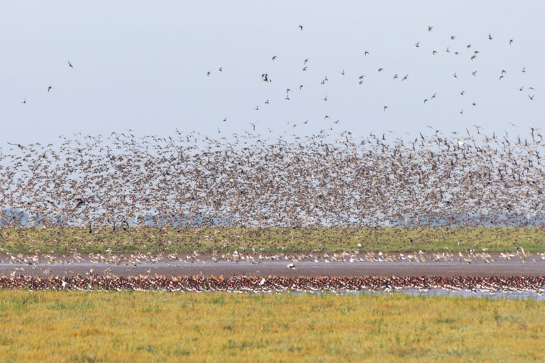 Hundreds of birds in the sky and on the water at Snettisham Nature Reserve.