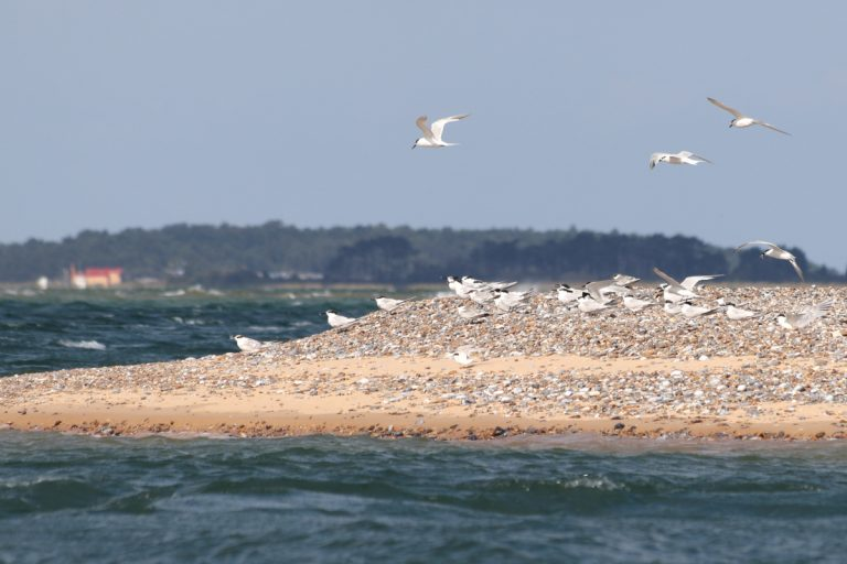 Sandwich terns in flight and resting at the tip of Blakeney Point.