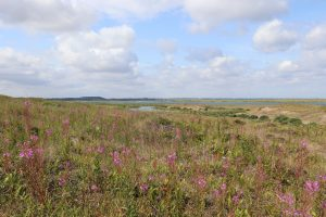 Purple flowers and grassland at Blakeney Point on a sunny day.