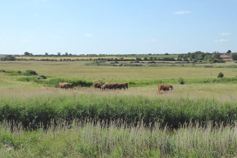 Cows grazing in fields at Burnham Overy Staithe.
