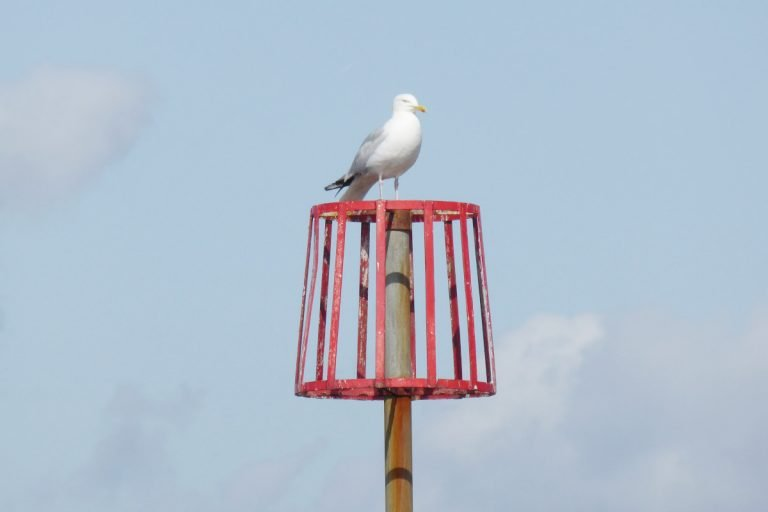 A seagull perched on a wooden post at Heacham.