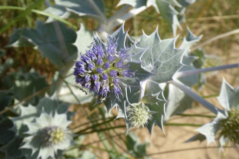 A purple sea-holly flower in the dunes at Holme Beach, Norfolk.