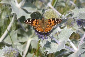 A butterfly resting on a sea-holly flower at Holme Beach.