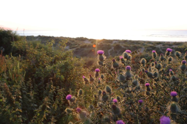 Thistles on Hunstanton Beach