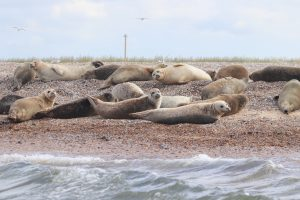 Seals at Blakeney Point as seen from the water.
