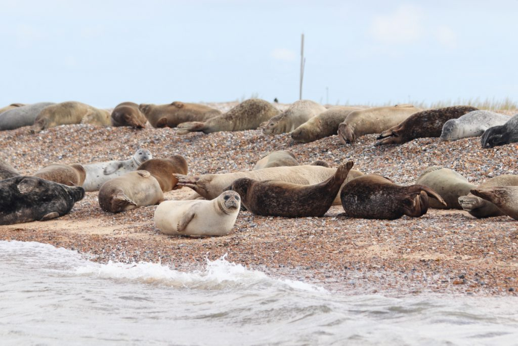Common and grey seals lying on the beach at Blakeney Point.