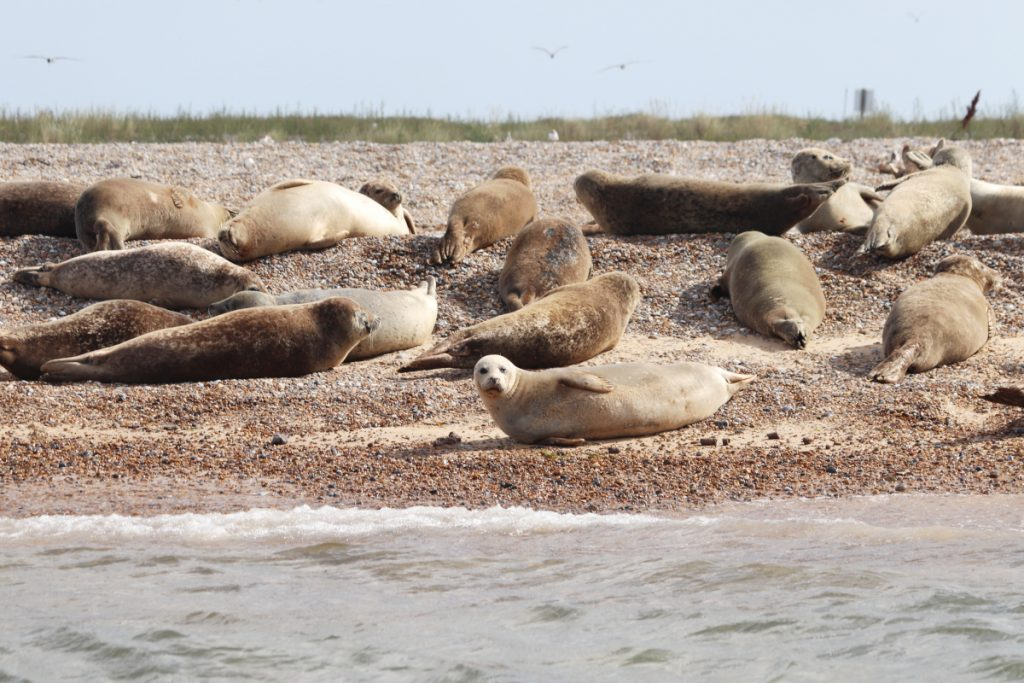 Seals basking in the sun at Blakeney Point in Norfolk.