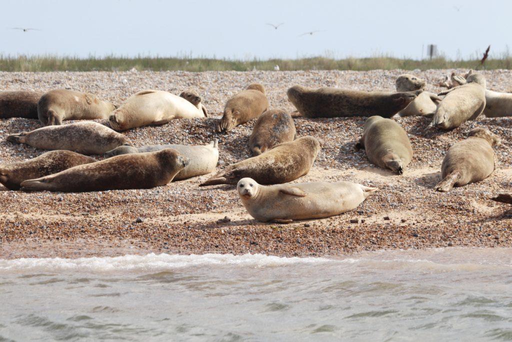 Seals basking in the sun at Blakeney Point in Norfolk.