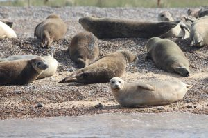 Seals on the shore at Blakeney Point in North Norfolk.