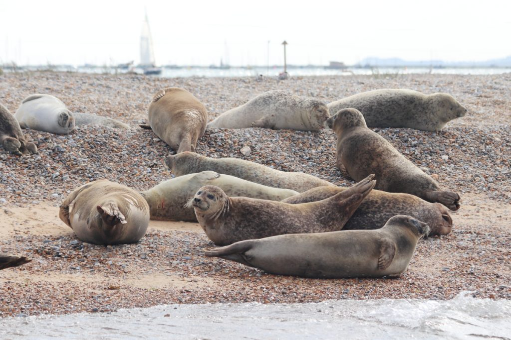 Large seals lying on a pebble beach at Blakeney National Nature Reserve.