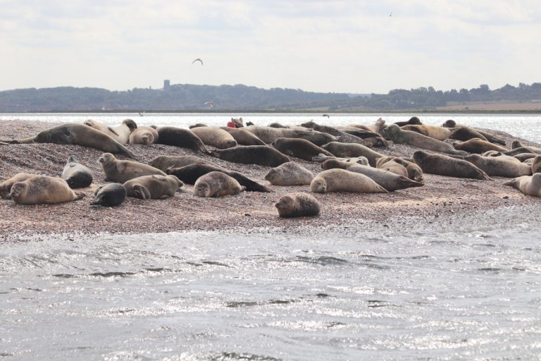 A group of seals lying on the beach at Blakeney Point in Norfolk.