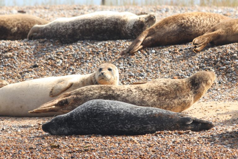 Large seals lying in the sun on the pebble beach at Blakeney Point.