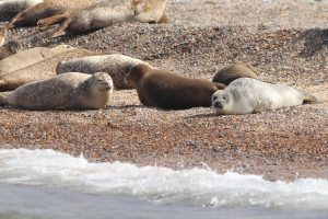 Seals basking in the sun on the shore at Blakeney Point.