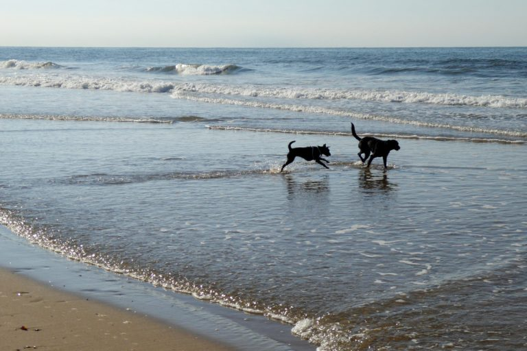 Two dogs playing in the sea at Thornham beach.