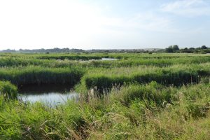 Grasses and wetland at Titchwell Marsh Nature Reserve.