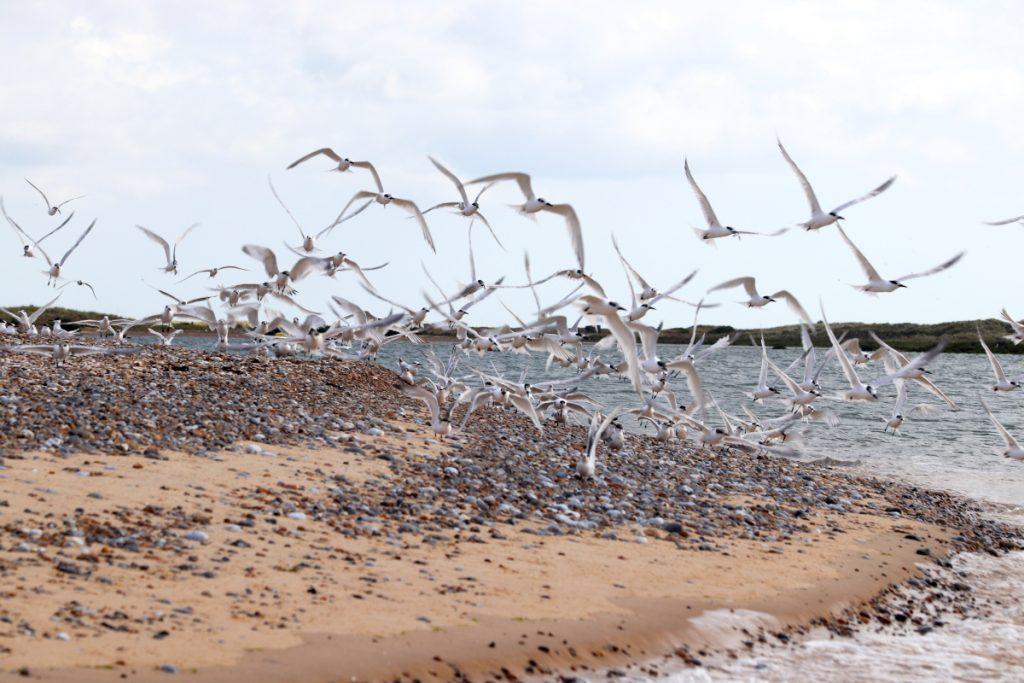 A large flock of Sandwich Terns taking flight off Blakeney Point in Norfolk.