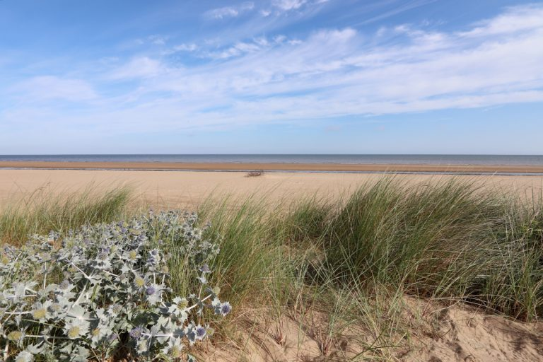 Holme beach with sea holly and marram grass in the sand dunes.
