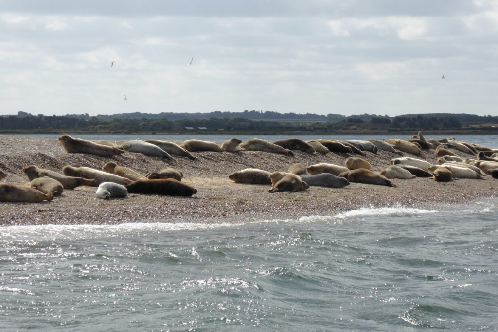 Several seals basking in the sun at Blakeney Point in North Norfolk.
